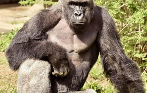 Harambe (Photo Courtesy of mirror.co.uk)