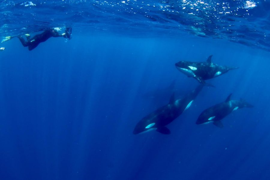Killer+Whale+exists+peacefully+with+divers+in+the+wild.%0APhoto+courtesy+of+Albert+Chan