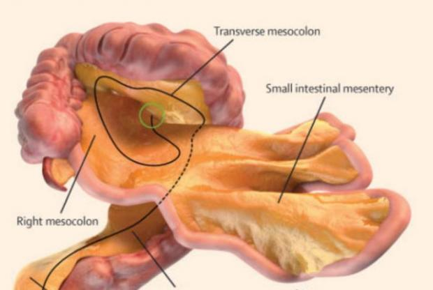 an image of the Mesentery's structure