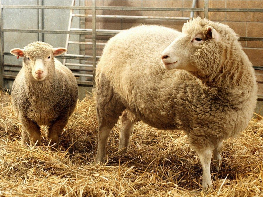 Dolly the sheep was the first mammal to be cloned, twenty years ago.