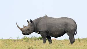 Photo provided by National Geographic: Recently a rhino was shot and killed at a zoo in France.