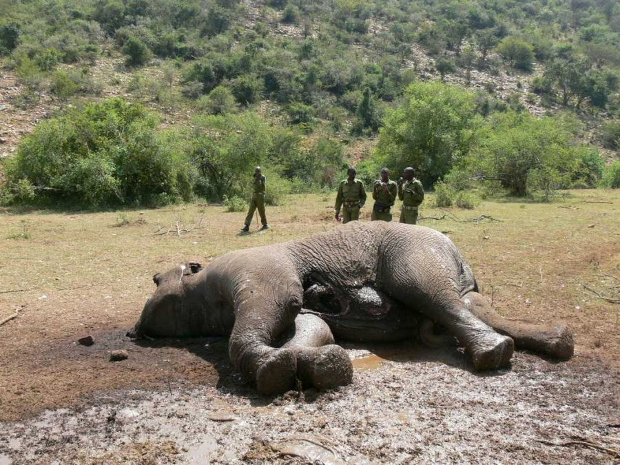 An+elephant+lies+fallen+after+being+poached+for+its+ivory+tusks.+Photo+courtesy+of+Shiqinlin