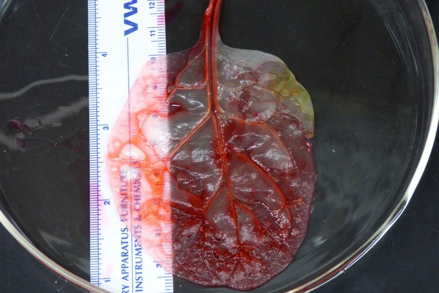 The+cellulose+of+the+spinach+is+injected+with+red+dye+to+demonstrate+how+well+liquids+move+through.+If+the+experiments+go+as+planned%2C+this+dye+will+be+replaced+with+blood.