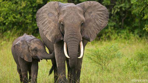 Trump's Elephant Trophy Hunting Decision