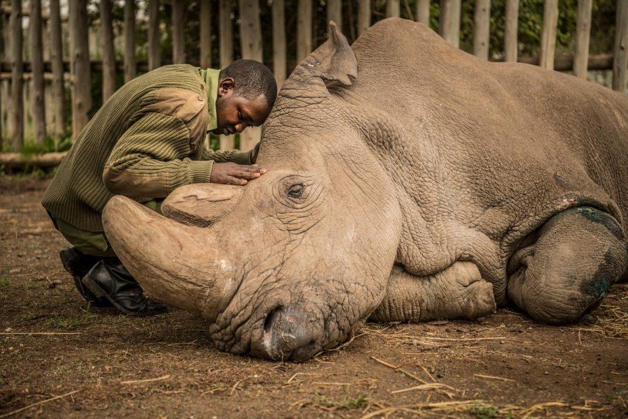 Sudan, the world's last male white northern rhino, has passed away.