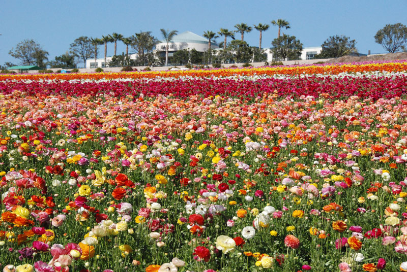 Beautiful+blooming+flower+fields+in+Orange+County.