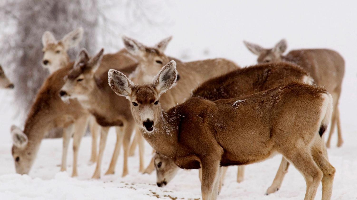 CWD, or chronic wasting disease, slowly spreads throughout the deer population in certain areas of the Unites States.