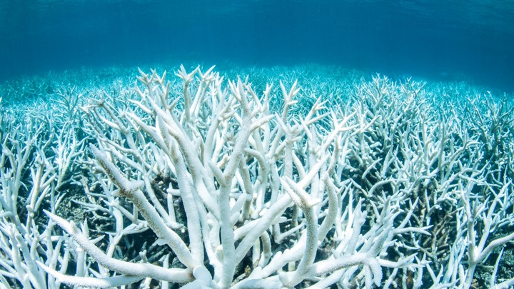 One of the numerous consequences of global warming include the death of coral reefs, including the bleached coral reef near the Great Barrier Reef pictured above.