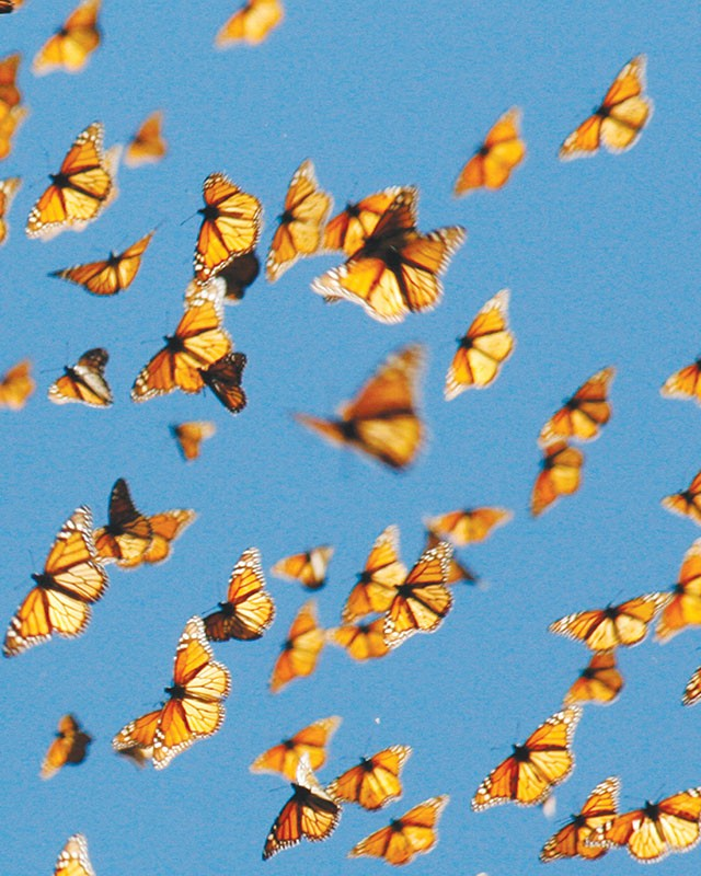 Butterflies migrating. Photo credits: San Antonio Credits
