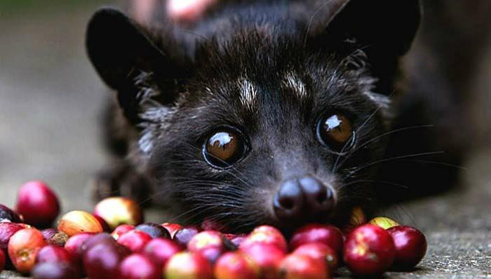 The most expensive coffee in the world is collected from the Vietnamese WIld Civet. Photo credits: Financesonline.com
