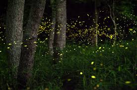 Due to artificial lights, the population of fireflies has significantly declined over past years.