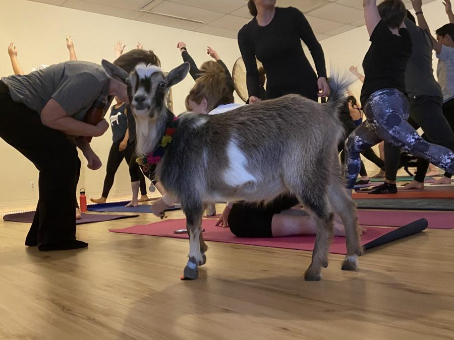 Goat yoga is a rising form of animal therapy that combines young goats with yoga classes.