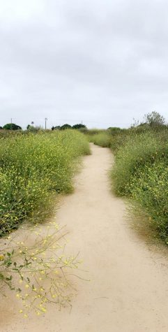 Trail surrounded by yellow sunflowers and daisies while walking around the Newport Marsh.