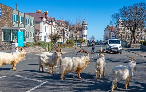 As the coronavirus forces individuals to stay at home, nature has taken over, including this sighting of goats in the streets of a town in Wales.