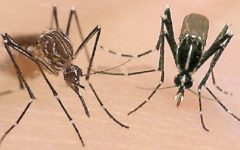 The Aedes aegypti and Aedes albopictus are the source of all the bites that are causing all Yorba Linda residents to itch.