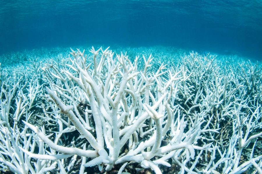 Rising ocean temperatures has led to an increase in coral bleaching in the Great Barrier Reef.