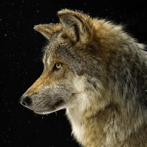 The grey wolves have surpassed all of the conservation, goals to recovery have been exceeded, and have made it off the endangered species list.