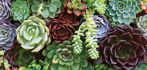Succulents come in multiple colors, shapes, and sizes, allowing one to brighten their space.