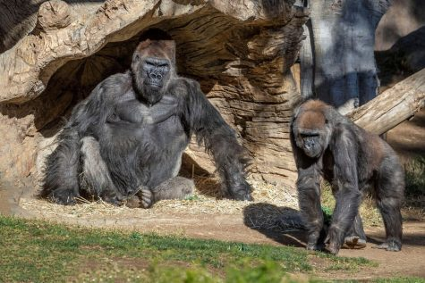 After eight gorillas tested positive for COVID-19 at the San Diego Zoo in January, the zoo decided to give a vaccine created for animals to nine of their great apes.